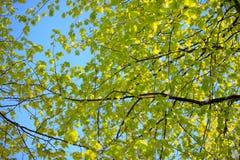Lames vertes fraîches d'un arbre au printemps Images libres de droits