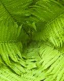lames vertes fraîches de fougère de fond Photographie stock libre de droits