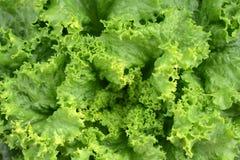 Lames vertes fraîches de laitue ou de salade Images stock