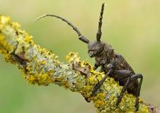 Lamia textor beatle na liszaju w przyrody envirionment Zadziwiający piękno zwierzę przyroda fotografia royalty free