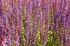 Lamiaceae family field herb Royalty Free Stock Images