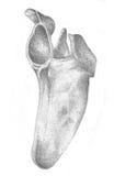 Lamierina di spalla - scheletro illustrazione vettoriale