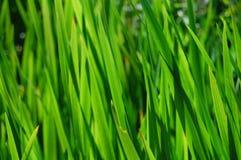 Lamierine dell'erba Immagini Stock