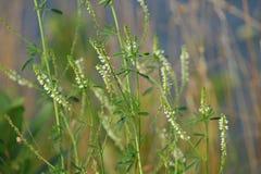 Lamierine dell'erba Fotografia Stock