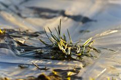 Lamierine di erba nel ghiaccio Fotografia Stock Libera da Diritti