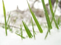 Lamierine di erba in neve Fotografia Stock