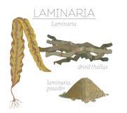Laminaria Stock Fotografie
