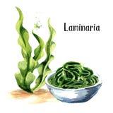 Laminaria, Kelp φύκι Superfood Συρμένη χέρι απεικόνιση Watercolor που απομονώνεται στο άσπρο υπόβαθρο διανυσματική απεικόνιση