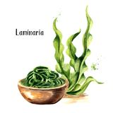 Laminaria, Kelp, φύκι Superfood Συρμένη χέρι απεικόνιση Watercolor που απομονώνεται στο άσπρο υπόβαθρο ελεύθερη απεικόνιση δικαιώματος