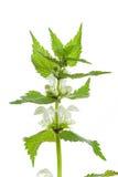 Lamium album. White nettle flowers on a white background Stock Photos
