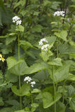Lamium album (white nettle or white dead-nettle) Stock Image