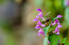 Lamium Royalty Free Stock Image