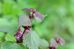 Lamium maculatum Stock Photo