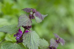 Lamium Maculatum flower. Flowers of Spotted Deadnettle Lamium maculatum in the forest. Spring time Stock Photos