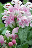 Lamium maculatum 'Pink Pewter'. Extreme closeup of a cluster of pale pink dead nettle blossoms with greyish-green leaves Royalty Free Stock Photography