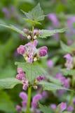Lamium maculatum Royalty Free Stock Photography