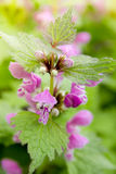 Lamium maculatum Royalty Free Stock Photos
