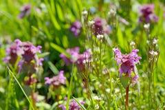 Lamium maculatum Royalty Free Stock Photo