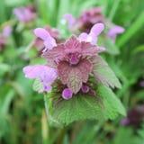 Lamium, non seulement beau et supportant l'élevage, mais également une herbe curative forte Image stock