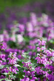 Lamium purpureum background Royalty Free Stock Photo