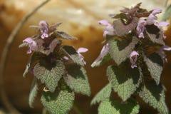 Lamium purpureum Rewolucjonistka lub Purpury, Deadnettle Obraz Stock