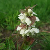 Lamium. With white small flowers, an edible wild cabbage, also s. Uitable for modern home medicine, a healing plant which grows lasting Royalty Free Stock Photography