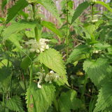 Lamium. With white small flowers, an edible wild cabbage, also s. Uitable for modern home medicine, a healing plant which grows lasting Royalty Free Stock Photo