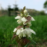 Lamium. With white small flowers, an edible wild cabbage, also s. Uitable for modern home medicine, a healing plant which grows lasting Royalty Free Stock Images