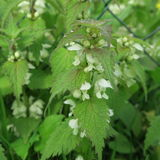 Lamium. With white small flowers, an edible wild cabbage, also s. Uitable for modern home medicine, a healing plant which grows lasting Stock Photos