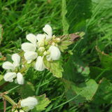 Lamium. With white small flowers, an edible wild cabbage, also s. Uitable for modern home medicine, a healing plant which grows lasting Stock Images