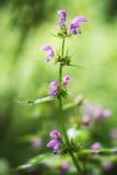 Lamiummaculatum Royaltyfria Bilder