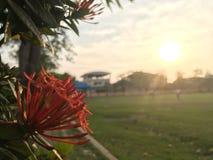 Lamk Ixora chinensis Ixora spp в районе спортивной площадки Стоковое Изображение