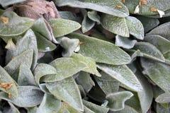 Lammöraväxt (Stachysbyzantinen) arkivfoto