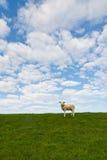 Lamm Lizenzfreies Stockfoto