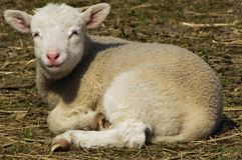 Lamm auf Bauernhof im Stroh stockfoto
