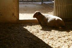 Lamm auf dem Bauernhof Stockfotos