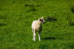 Lamm auf dem Gebiet stockfotos