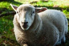 Lamm auf einem Feld Lizenzfreie Stockfotos