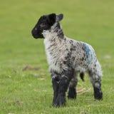 Lamm auf einem Gebiet im Frühjahr, Großbritannien Stockfoto