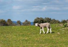 Lamm, das in der Weide blökt Frühling und sonniger Tag stockfotos