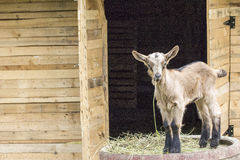 Lamm, das Gras isst stockfoto