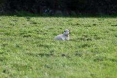 Lamm, das im Gras stillsteht Stockbilder
