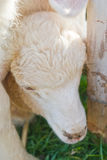 Lamm, das unter anderen Schafen sich versteckt Lizenzfreies Stockfoto