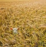 Lamm in der Gerste Lizenzfreies Stockfoto