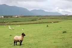 Lamm in der irischen Landschaft Lizenzfreies Stockfoto