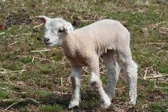 Lamm in der Landschaft Lizenzfreie Stockfotografie