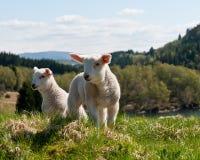 Lamm in der Natur Lizenzfreie Stockbilder