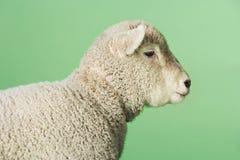 Lamm gegen grünen Hintergrund Stockfotos