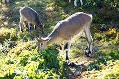 Lamm i Daocheng Yading Arkivfoton