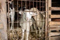 Lamm i en bur Arkivfoton